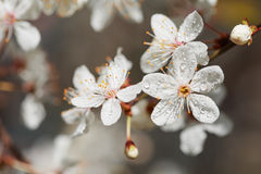 Spring white flowers with dew. Royalty Free Stock Photos