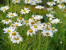 Spring white flowers Stock Photos