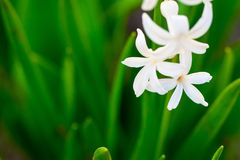 Spring white flowers on green background.Hyacinths close-up, tex. Tures Royalty Free Stock Image