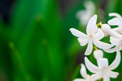 Spring white flowers on green background.Hyacinths close-up, tex. Tures Stock Images