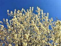 Spring, white flowers, light and sky royalty free stock photo