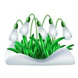 Spring white flowers of snowdrops. On green stems are punched out of the snow isolated on white background. Vector illustration Stock Photos