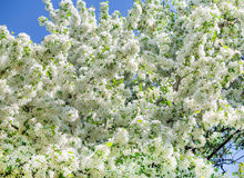 Spring white flowers on the trees Royalty Free Stock Images