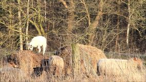 Spring, white little lamb on hay bales stock video footage