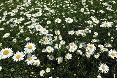 Spring White Marguerite Flowers Royalty Free Stock Images