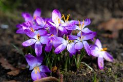 Spring white and purple crocus, with yellow details, blooming during early sunny Spring day Royalty Free Stock Image