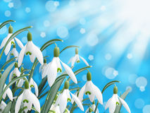 Spring white snowdrop flower with abstract bokeh background Royalty Free Stock Photo