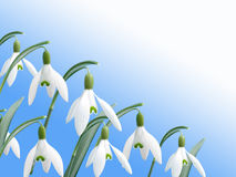 Spring white snowdrop flowers with blue background Royalty Free Stock Image