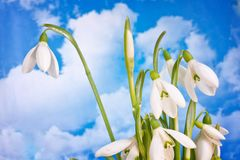 Spring white snowdrop nature flower plant Stock Photo
