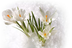 Spring white snowdrops Stock Images