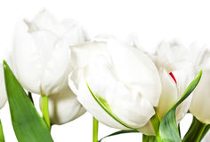 Spring white tulips isolated on white background Royalty Free Stock Images