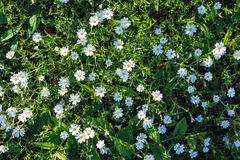 Spring  white wild flowers. And green foliage background Royalty Free Stock Photography