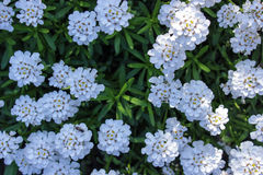 Spring  white wild flowers. And green foliage background Royalty Free Stock Images