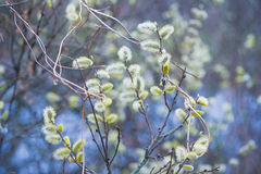 Spring white willow tree in bloom