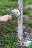 Spring whitewashing of trees. Protection from sun and pests. Ukraine Royalty Free Stock Photography
