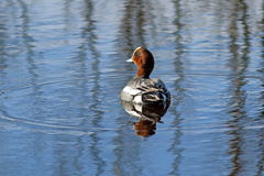 In the spring of Wigeon swims on the lake. Anas penelope. The male of wigeon floating on the lake Stock Images