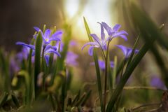 Spring wild blue flowers on mystical, fabulous meadow in sunny light. Dreamy gentle artistic image.  stock photos