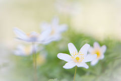 Spring wild flower background, Anemone nemerosa Stock Images