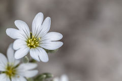 Spring wild flower on a gray background Stock Photos