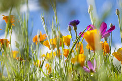 Spring Wild Flowers. Field of spring time wild flowers royalty free stock image