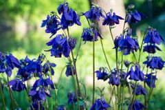 Spring wild flowers of blue and purple growing in an outdoor park royalty free stock photo