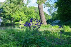 Spring wild flowers of blue and purple growing in an outdoor park royalty free stock photos