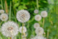 Spring wild flowers - dandelions. Flora, vegetation Stock Photography