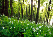 Spring wild flowers in green forest at sunset Royalty Free Stock Images