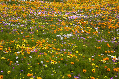 Spring Wild Flowers near Cape Town Royalty Free Stock Photo