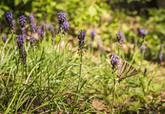 Spring, wild hyacinths and a butterfly Stock Photos