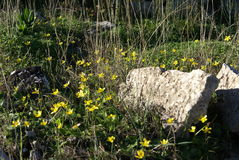 Spring Wild yellow flowers in a field in the countryside of Greece Royalty Free Stock Photo