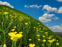 Spring wild yellow flowers on a hill and blue sky Stock Image