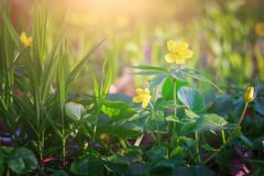 Spring wild yellow flowers. In forest during sunny spring day Stock Images