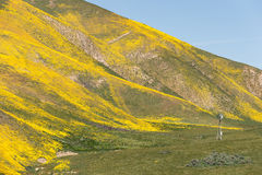Spring wildflower explosion and bloom near Carrizo Plain National Monument Stock Image