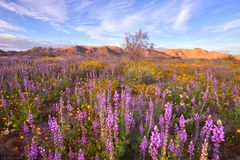 Spring Wildflower in Joshua Tree National Park stock images