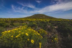 Spring Wildflowers Blooming in Malibu. Beautiful yellow wildflowers blooming and covering the peak of Point Dume in springtime on a warm, sunny day, Malibu Stock Photography
