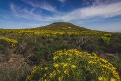 Spring Wildflowers Blooming in Malibu. Beautiful yellow wildflowers blooming and covering the peak of Point Dume in springtime on a warm, sunny day, Malibu Royalty Free Stock Photo