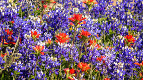 Spring Wildflowers in Central Texas - background Stock Photo