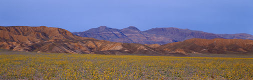 Spring Wildflowers, Death Valley, California Royalty Free Stock Photo