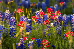 Spring Wildflowers in Texas Stock Photo