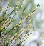 Spring willow. Royalty Free Stock Images