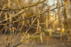 Spring Willow Bloom royalty free stock photo