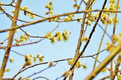 Spring willow Stock Image