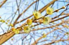 Spring willow Royalty Free Stock Images