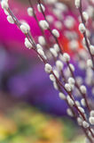 Spring willow branch of white furry catkins. With purple and pink colorful bokeh background Stock Photo