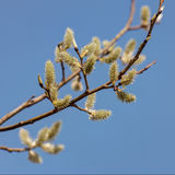 Spring willow branches Stock Photo