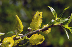 Spring willow branck with catkins Stock Image