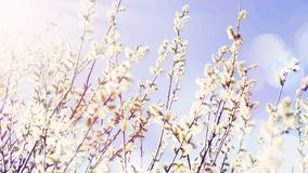 Spring willow buds branches Stock Images