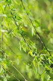 Spring willow leaves Royalty Free Stock Photography