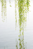Spring willow leaves near water Stock Photo